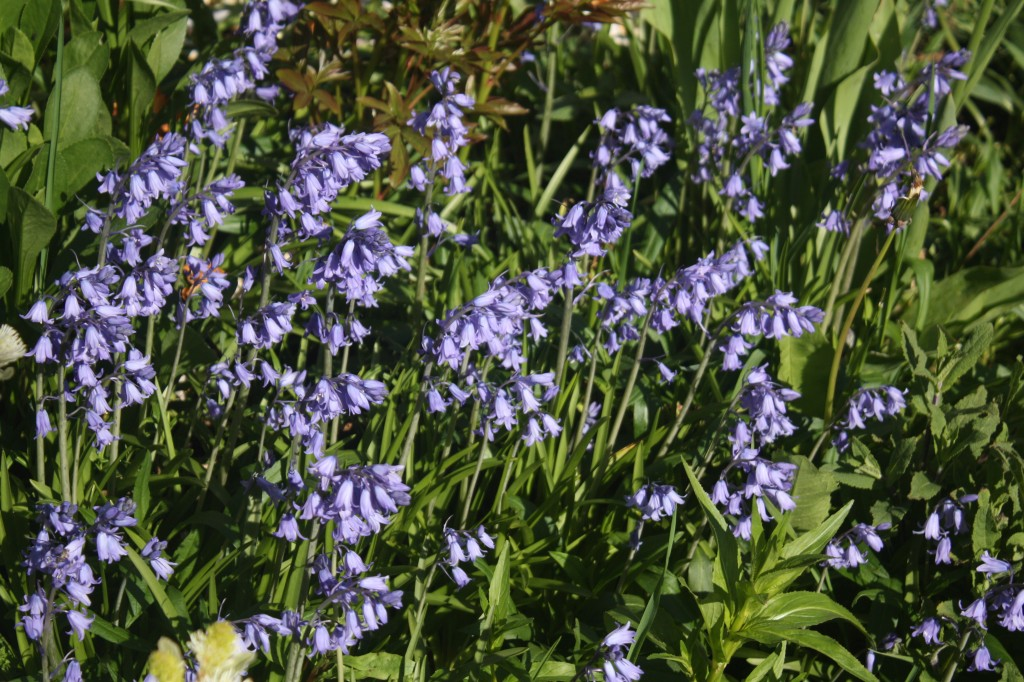 Hyacinthoides hispanica (Spanish bluebells), an annoying invasive plant